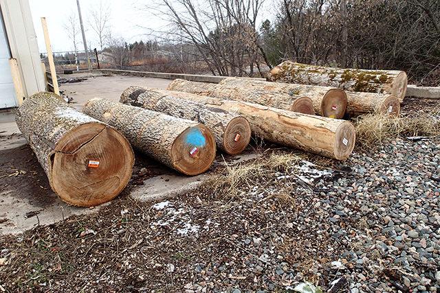 アメリカ国内でも少ないブラックアッシュ買付け原木
